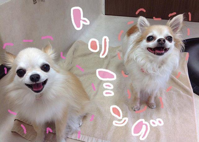 _(左)ショコラちゃん(右)シフォンちゃんシャンプーコースでご利用頂きました🚿.二人ともおりこうさんでした( ˆoˆ )/来月はショコラちゃんのbirthdayまたお待ちしております️2018.05.02#川口市 #アステール動物病院 #トリミング #シャンプー #チワワ #ちわわ #わんこ #いぬすたぐらむ #ふわもこ部 #dog #dogstagram