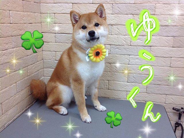 .優しいお顔の悠くんシャンプーコースでご利用頂きました(*´꒳`*).苦手なお爪切りやシャンプーも一生懸命がんばってくれましたまたお待ちしております2018.5.14#川口市 #アステール動物病院 #トリミング #シャンプー #柴犬 #わんこ #いぬすたぐらむ #ふわもこ部 #dog #dogstagram